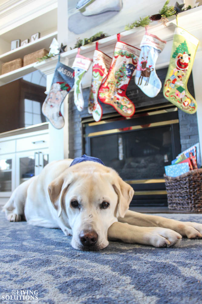 labrador-and-christmas-stockings